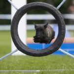 Шотландский терьер или скотч-терьер перепрыгивает через колесо