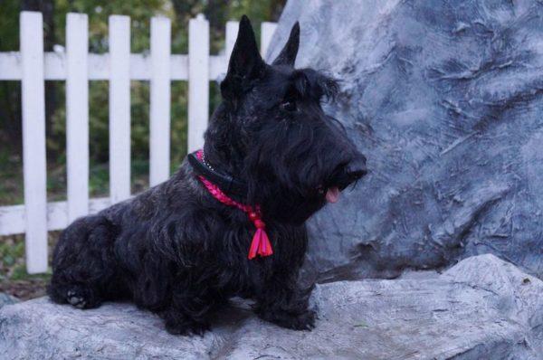 Шотландский терьер или скотч-терьер черного окраса с красной ленточкой на шее