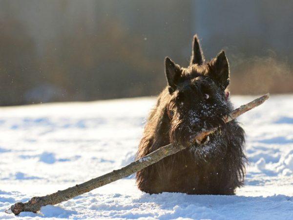 Шотландский терьер или скотч-терьер зимой играет с большой палкой
