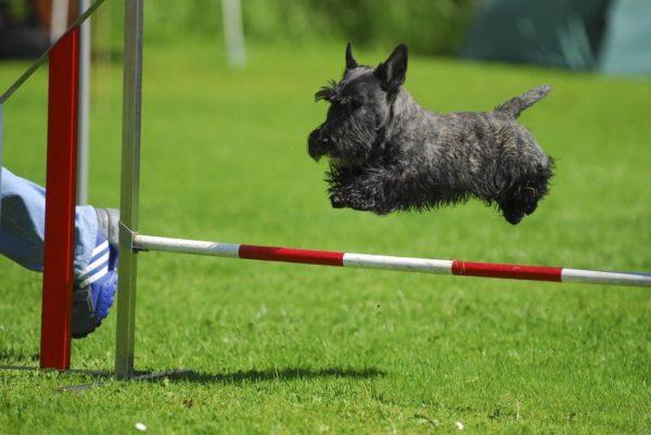 Шотландский терьер или скотч-терьер в прыжке