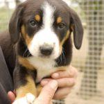 Энтлебухер зенненхунд щенок на руках