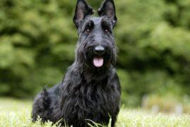 Шотландский терьер или скотч-терьер черного окраса улыбается