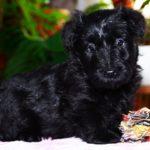 Шотландский терьер или скотч-терьер щенок