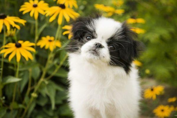 Японский хин щенок в желтых цветах