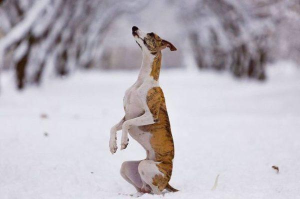 Уиппет или малая английская борзая делает стойку в снегу зимой