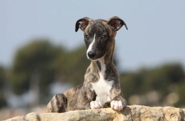 Уиппет или малая английская борзая щенок