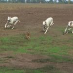 Грейхаунд или английская борзая на охоте гонится за зайцем