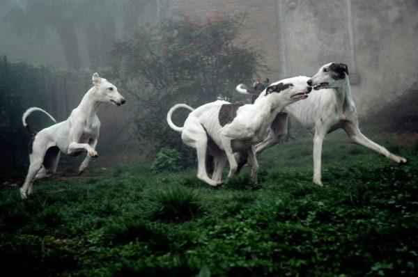 Грейхаунд или английская борзая три собаки бегают на природе