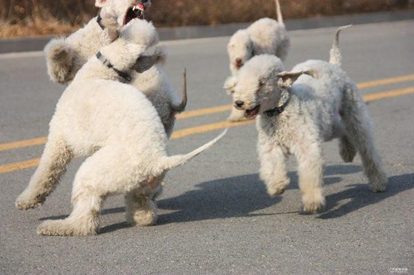 Бедлингтон терьеры играют на собачьей площадке