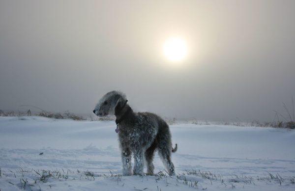 Бедлингтон терьер зимой в поле