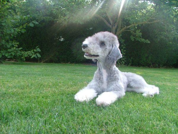 Бедлингтон терьер щенок лежит на лужайке