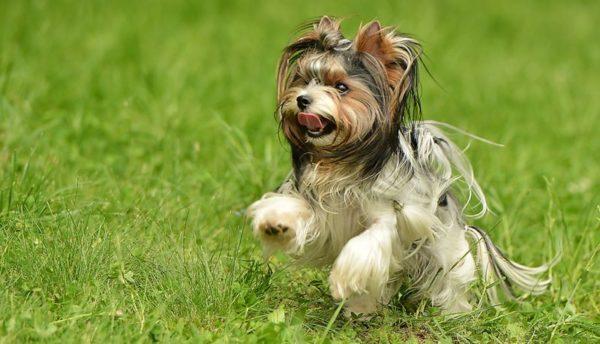 Бивер йоркширский терьер бежит по лужайке