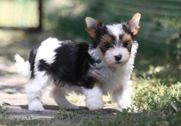 Бивер йоркширский терьер щенок