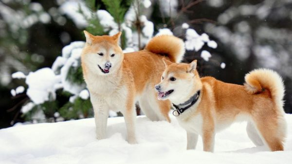Две акита-ину в снегу