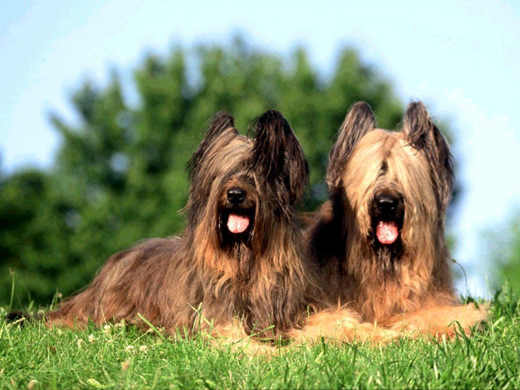 Порода собак бриар: фото, где купить, описание