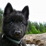Грюнендаль щенок