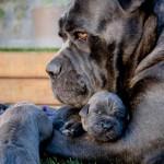 Кане-корсо с щенками