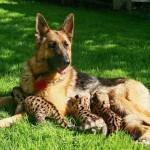 Немецкая овчарка выкармливает детенышей леопарда