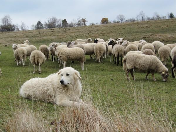 Мареммо-абруццкая овчарка на пастбище