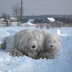 Комондор в снегу