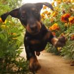 Бегущий щенок таксы