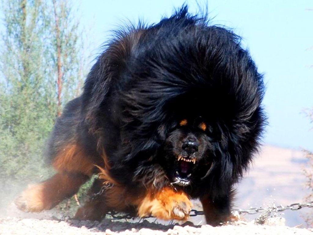 Собаки порода мастиф