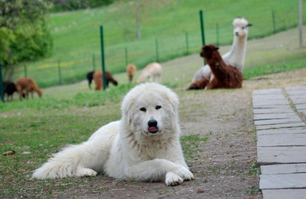 Мареммо-абруццкая овчарка охраняет лам