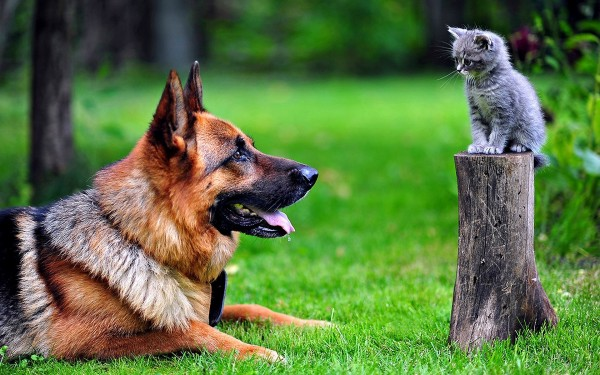 Немецкая овчарка и котенок