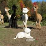 Мареммо-абруццкая овчарка и ламы