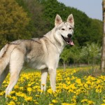 Тамасканская собака