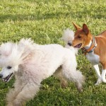 Басенджи с другими собаками