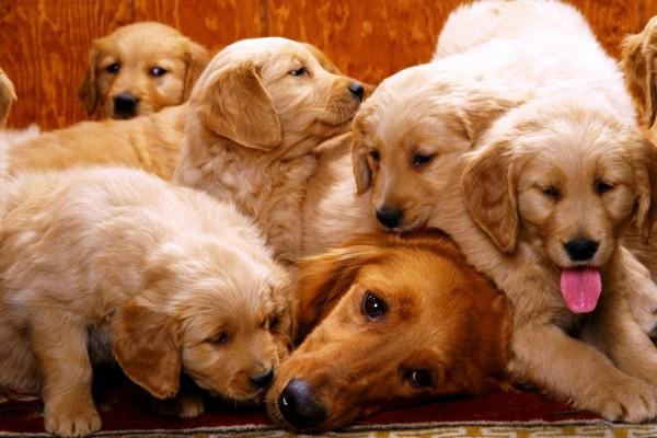 самая известная порода собак