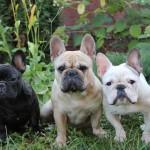 Семейство французского бульдога