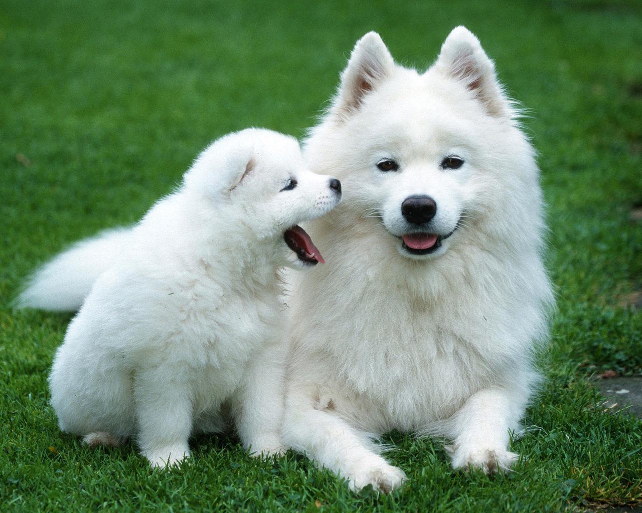 белая большая пушистая собака порода самоед
