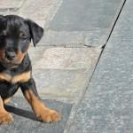 Красивый щенок Немецкого Ягдтерьера