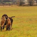 Курцхаар охота на лису