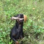 Ягдтерьер нашел грибочек