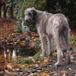 Ирландский волкодав возле пруда
