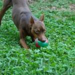 Цвернпинчер с мячиком
