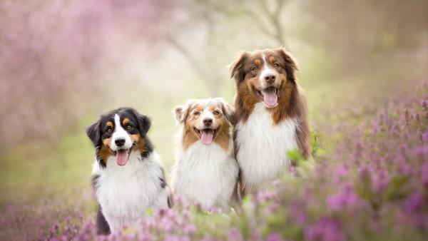 Три Австралийские овчарки