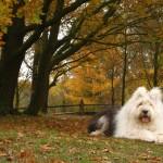 Бобтейла осенью в парке