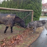 Ирландский волкодав и лошадка