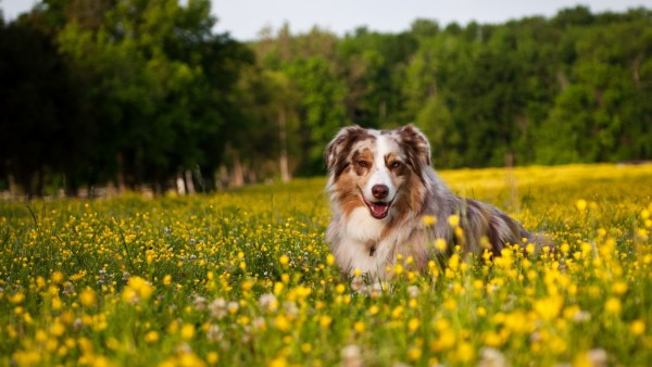 Австралийская овчарка на цветущем лугу