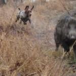 Курцхаар охота на кабана