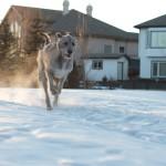 Ирландский волкодав бегает с собакой по снегу