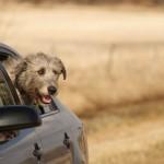 Ирландский волкодав в машине