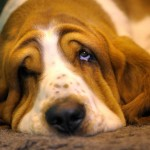 Бассет-хаунд спит и подглядывает