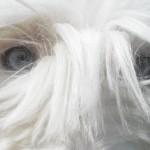 Глаза Бобтейла