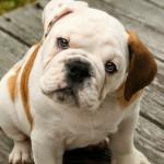 Английский бульдог щенок