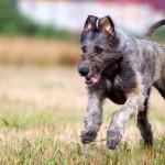 Ирландский волкодав щенок